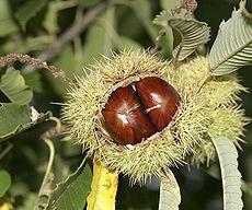 230px-Chestnut02.jpg